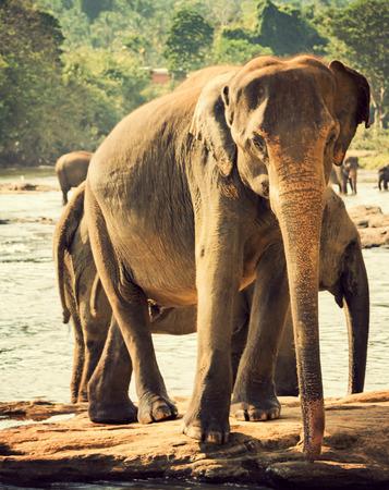 elephant orphanage Pinnawela in river stream, vintage nature background