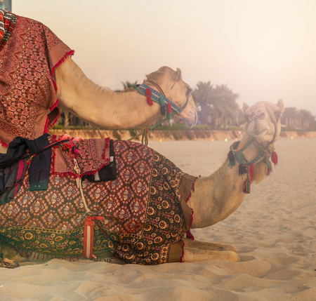 bedouin: vintage nature background Camel lay and Bedouin in Dubai Marina beach sand