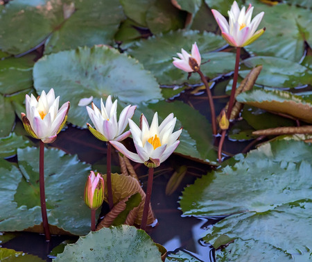 white lilly: white lilly on lake, Lotus water plant in a pond, vintage nature background Stock Photo
