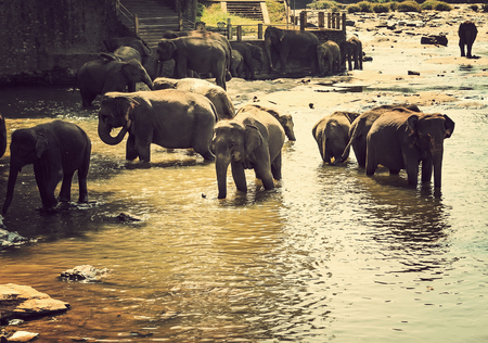 asian elephant: Asian Elephant Family in Water - nature background