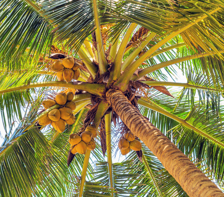 copra: coco on coconut tree palm, vintage nature background