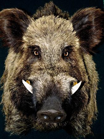 Mannelijke wilde boarportrait op zwarte achtergrond