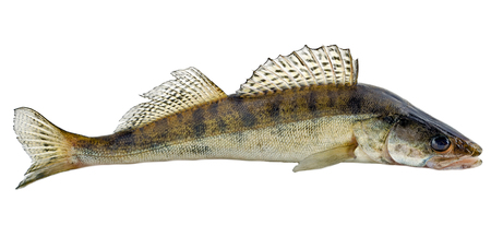 bluegill: Freshwater raw fish zander isolated on white background