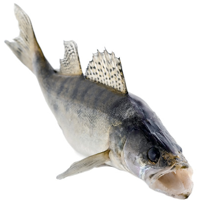 swimming fish walleye close-up isolated on white background