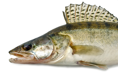 walleye zander fish from the side. Live fish with flowing fins. River fish isolated on white background