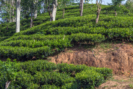 Tea plantation (Dambatenne estates) at about 1800 m above sea level in Haputale, Hill Country in Sri Lanka