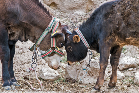 Bull fight traditional opposing game