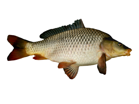 side view carp big fish close up on a white background