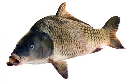 De vissen grote die karper van de rivier op witte achtergrond wordt geïsoleerd