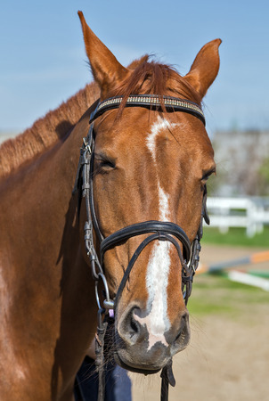 dream land: chestnut horse portrait - farm animal livestock Stock Photo
