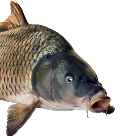 head fish big carp isolated on white background