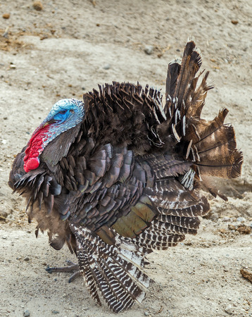 Wild turkeys are covered with dark feathers that help them blend in with landscape hills  Stock Photo
