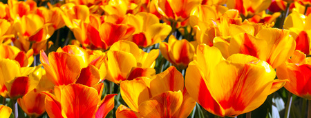 Tulip field blossom on a spring sunny day, red and yellow, Keukenhof flower garden.