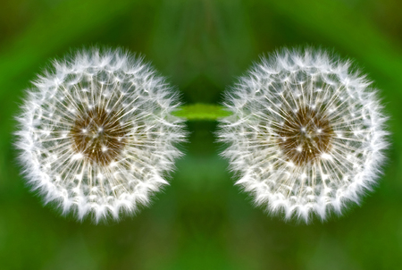 flowers two dandelion close-up on green grass nature background Imagens - 92776327