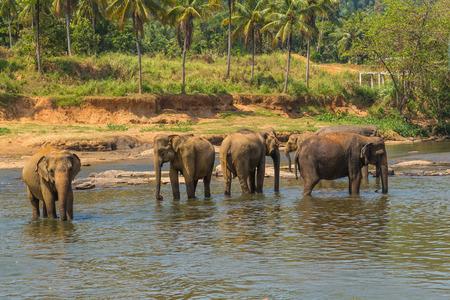 Elephants herd attraction river, Pinnawala elephant orphanage, Sri Lanka