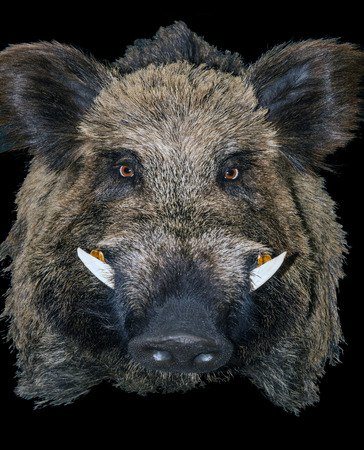Wild Pig boar hunting trophy in black background. Stock Photo