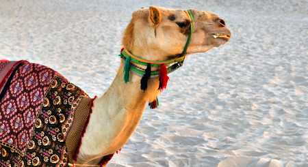 Camel desert animal with traditional Bedouin saddle Foto de archivo