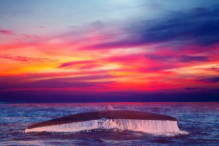 humpback whale tail fluke sunset sky background, Nature composition cloudscape Reklamní fotografie - 121033429