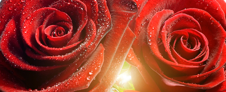 wet red rose with water droplets Nature sunrise spring concept valentine's day
