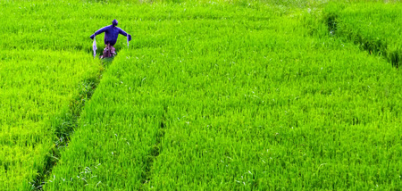 Hayman Scarecrow in a rice paddy, green rice field terraced landscaped farm