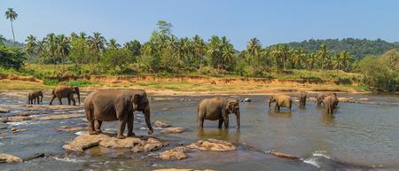 Wild elephant orphanage in river stream, Sri lanka