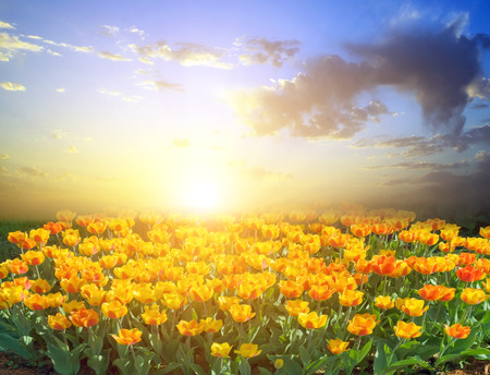Colorful field of tulip. Spring season tulips in a beautiful meadow. Nature background. Happy spring day.