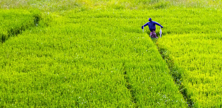 Hayman Scarecrow in a rice paddy, green rice field terraced landscaped cultivation farmland Imagens - 121381326