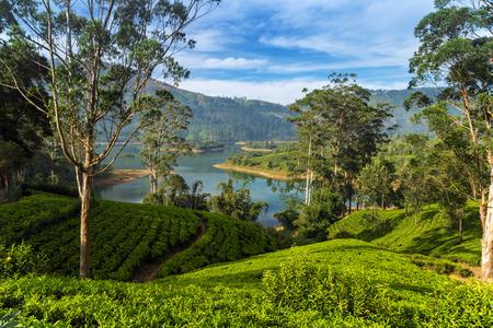 Green tea leaves background, mountain tea bushes plantation in Sri Lanka