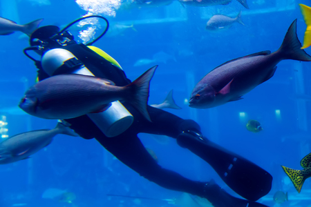 Scuba Diver Swimming norway in wetsuit neoprene, Spear fisherman big cod fish. Soft focus off. Banque d'images