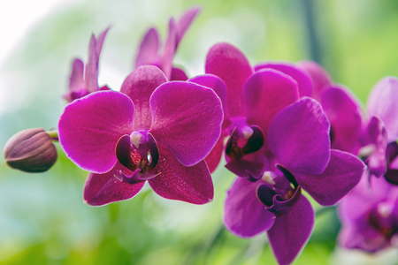 Orchid velvet burgundy flower in tropical garden. concept design pink purple Orchid branch with flowers - spring day for Floral postcard.
