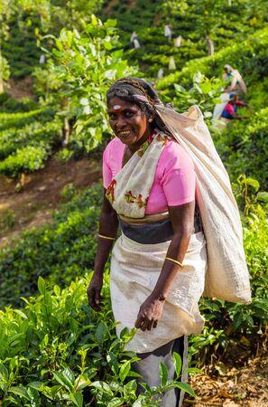 NUWARA ELIYA, SRI LANKA- 05 February 2016: The farmers are harvesting tea, picking hand Tea estate in hill District tea industry Sri Lanka Editorial