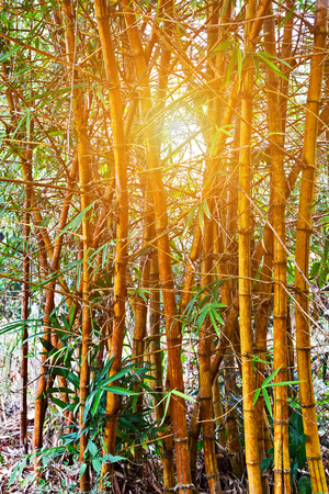 Green bamboo trunk sun, Bambu forest green springtime grows background with stems and leaves trunks in the tropical Botanical Garden Imagens