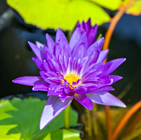 Blooming fuchsia Violet water lily lotus flowers in the pool pond. Visakha Bucha Day. Buddha's birth lotus flower meditation relax concept Vesak day. Stock Photo