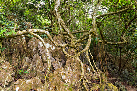 Rainforest landscape, tropical forest tree roots and green forest, Catba national park attractions. Cat ba island in Halong bay, Vietnam