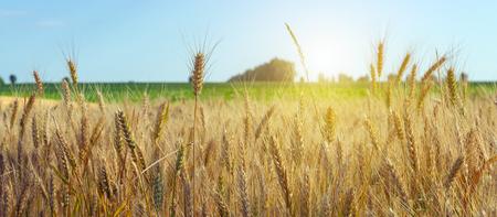 Tarwe gewas veld zomer landschap. Landbouw oogst tarwe met blauwe hemel veld van rijpe oren van tarwe achtergrond. Stockfoto