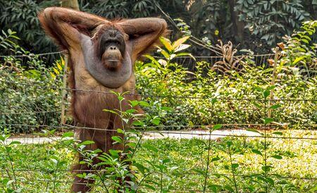 Bornean orangutan (Pongo o pygmaeus wurmmbii) in the wild nature Rainforest