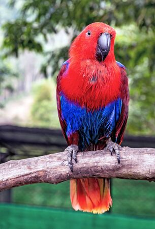 Eclectus Parrot (Eclectus roratus) female red blue on Tree Branch