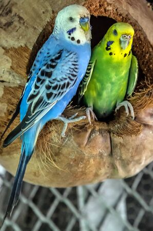 Pair green blue budgerigars (Melopsittacus undulatus) parrot close up sitting in the nest dried coconut shell Banque d'images