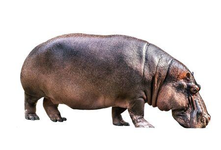 Hippopotamus hippos isolated on white background