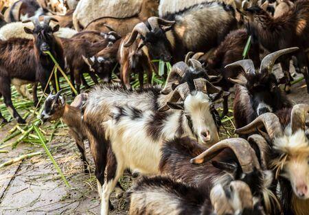 Goats portrait domestic on a farm in the village livestock