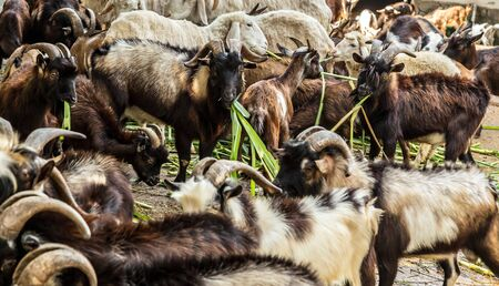 Goats eating grass in farm, mountain goats. goat with horns.