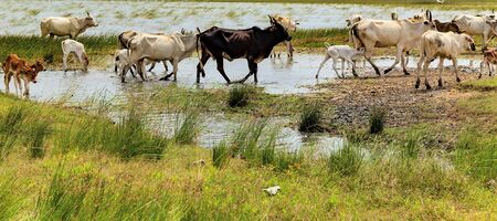 India Zebu cows in summer river rural landscape