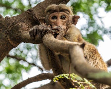 Monkey sitting portrait of a toque macaque. Ceylon Macaca sinica, Sri Lanka Park blur background