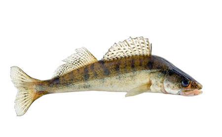 Walleye fish isolated on white background. Zander fishing. River fish big bass.