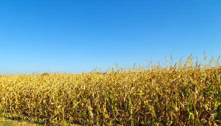 Corn field maize plantation with blue sky Foto de archivo