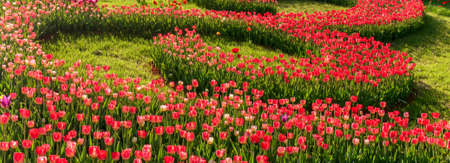 Tulip Bulbs selection bloom roses are red, violets various colors. Nature background tulips festival.