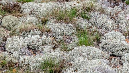 Close up True Iceland lichen Moss gray branches