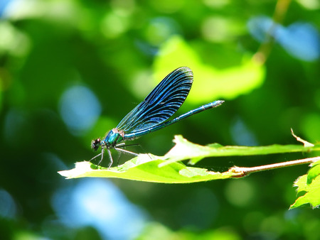 frontlet: animals: blue dragonfly on green leaf