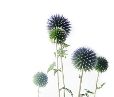 flora, nature composite : blue thistly flowers on white background