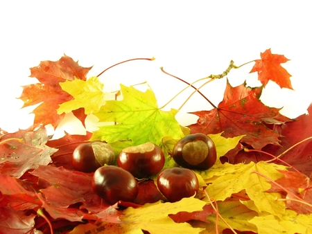 beautiful autumn composition: chestnuts on colorful leaves Standard-Bild